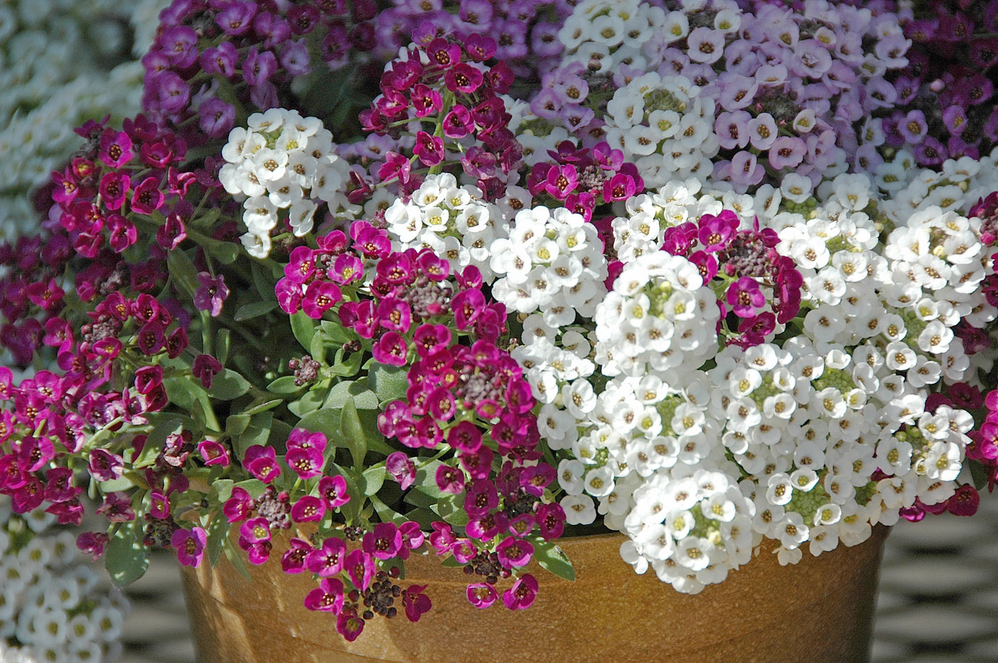 Rotunda lawn landscapes great winter flowering annuals sweet alyssum izmirmasajfo